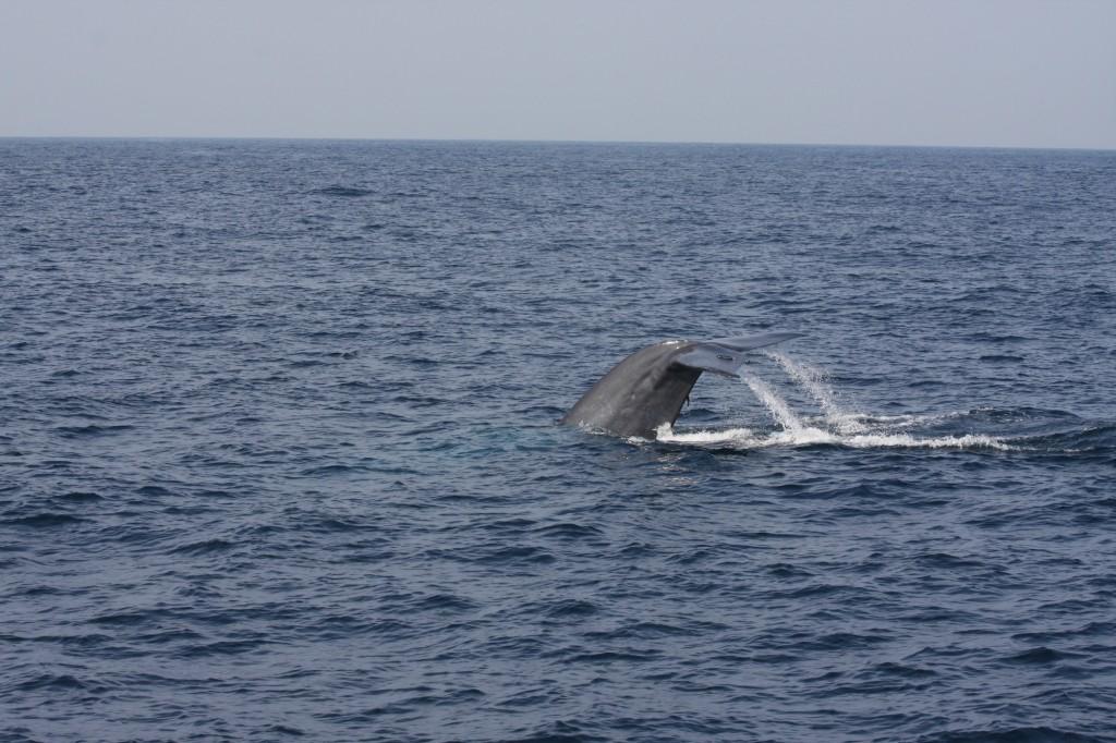 Ein Blauwal beim Abtauchen vor Sri Lanka