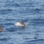 Delfine sieht man häufiger an den Küsten um Sri Lanka