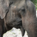 Im Kaudulla Nationalpark kann man graue Riesen aus nächster Nähe beobachten