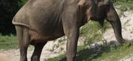 Den asiatischen Elefanten kann man in den Nationalparks von Sri Lanka antreffen