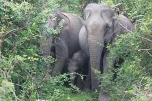 Gal-Oya Nationalpark - Elefantenfamilie im Schutz des Dickichts