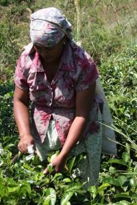 Teepflückerin in der Nähe von Ella