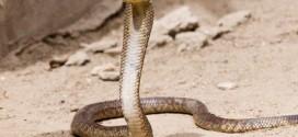 Giftige Kobra in Sri Lanka