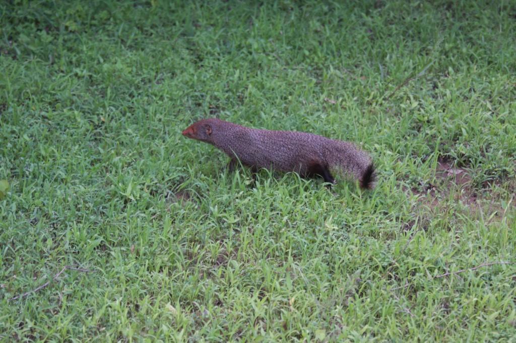 Mit etwas Glück sieht man im Uda Walawe Nationalpark auch Mungos