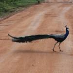 Pfau im Bundala Nationalpark