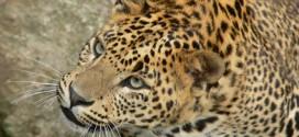 In den Nationalparks von Sri Lanka kann man Leoparden beobachten