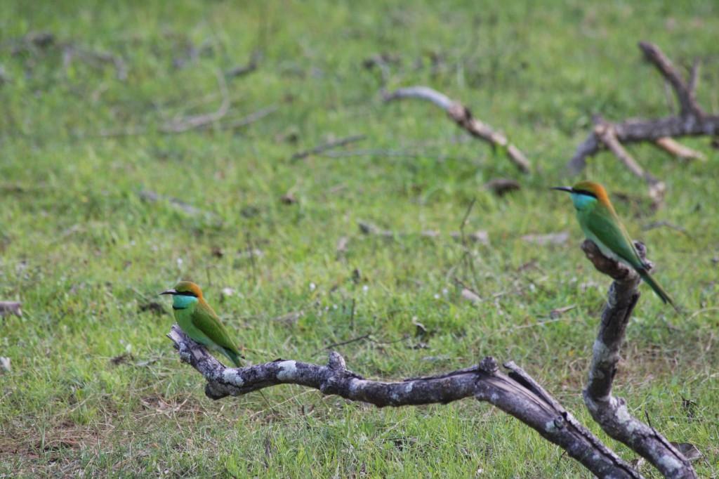 Im Horton Plains Nationalpark ist eine bunte Artenvielfalt an Vögeln zu sehen