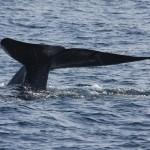 Blauwal an der Küste von Mirissa